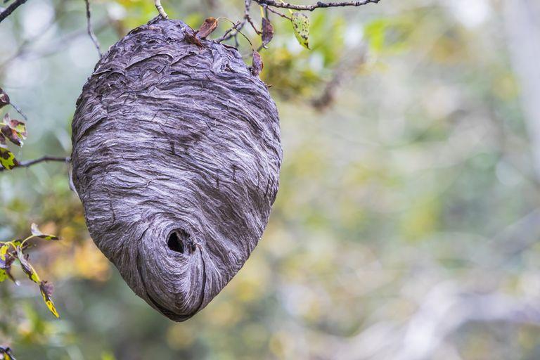 Hornet nest.
