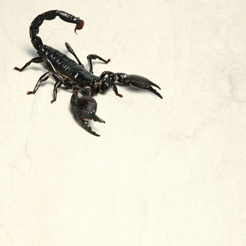 Elevated View of a Scorpion