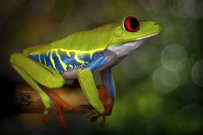 Frogs have worldwide distribution with the exception of the polar regions, some oceanic islands, and the driest of deserts.