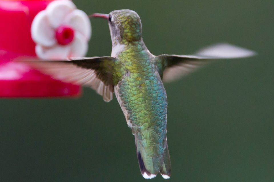Hummingbird at a Small Feeder