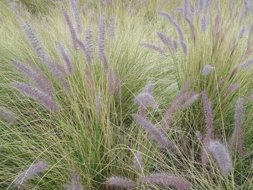 Desert landscaping with ornamental grasses for Ornamental grass with purple plumes