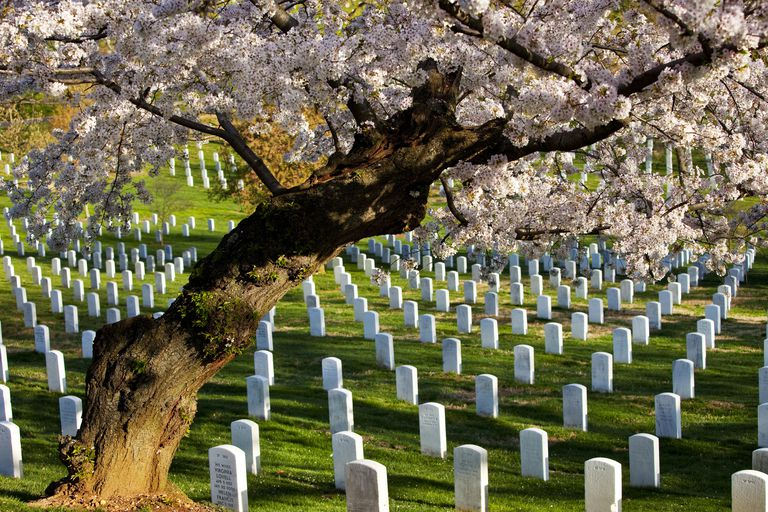 Blossoming cherry trees stand guard over tombstones at Arlington National Cemetery near Washington DC, USA