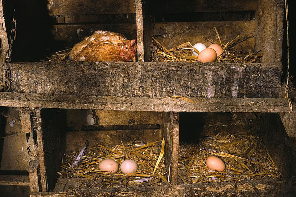 chicken and eggs at an organic farm