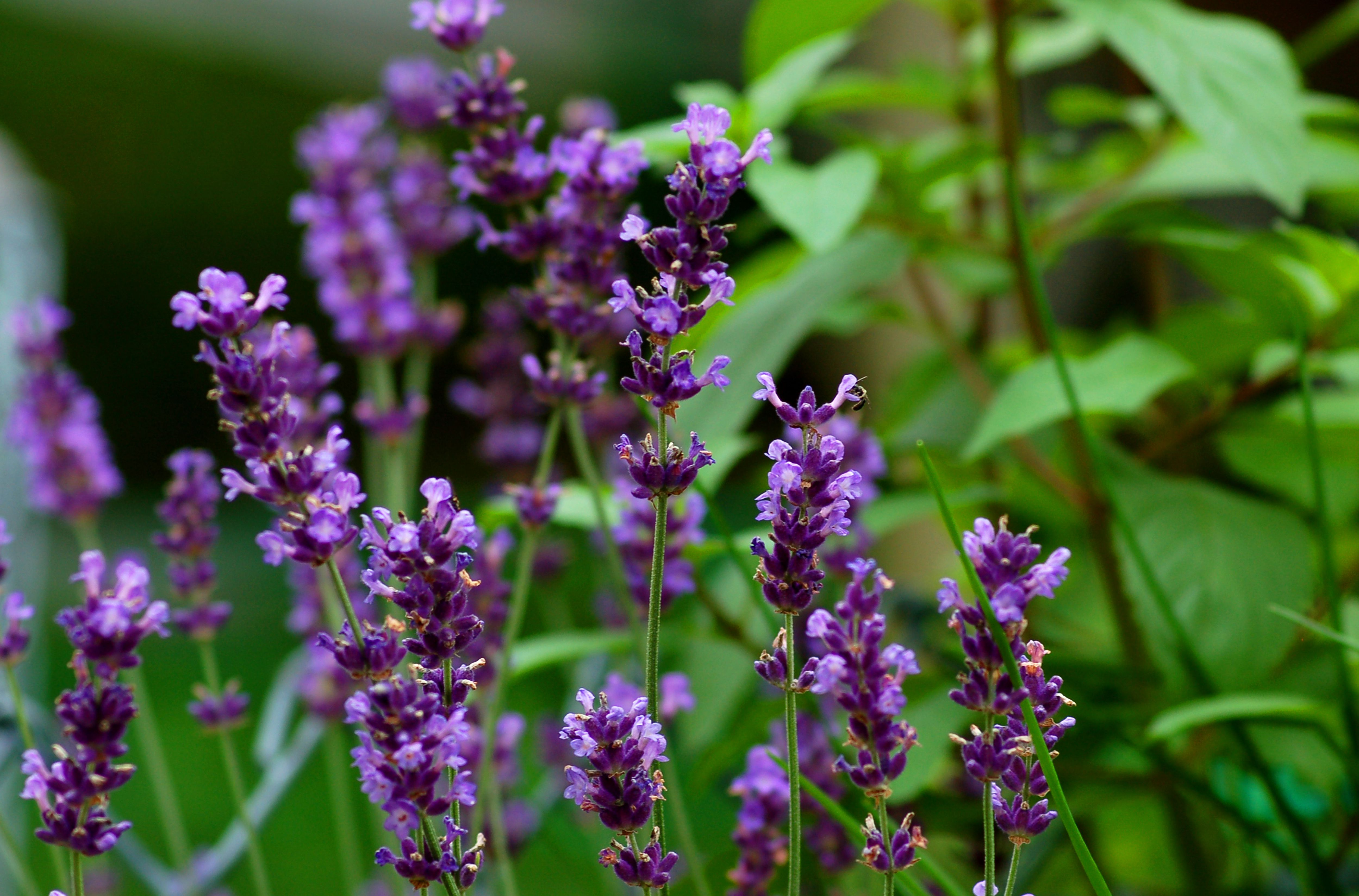 How to Grow Fragrant Lavender