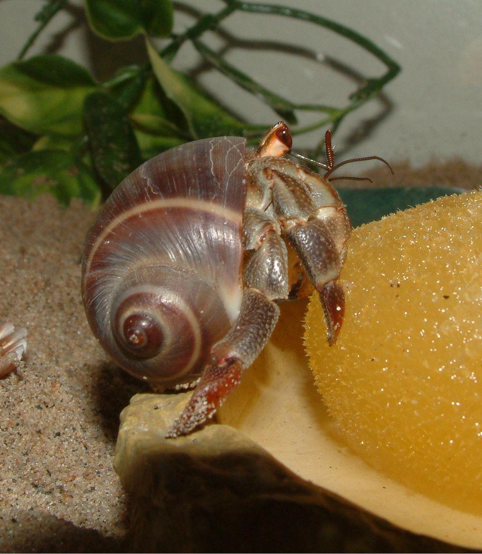 Ringshark - Hermit Crab