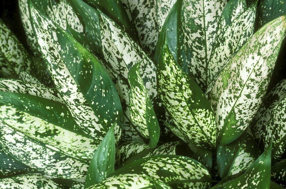 aglaonema costatum var brevispathum variabilis (chinese evergreen) variegated foliage