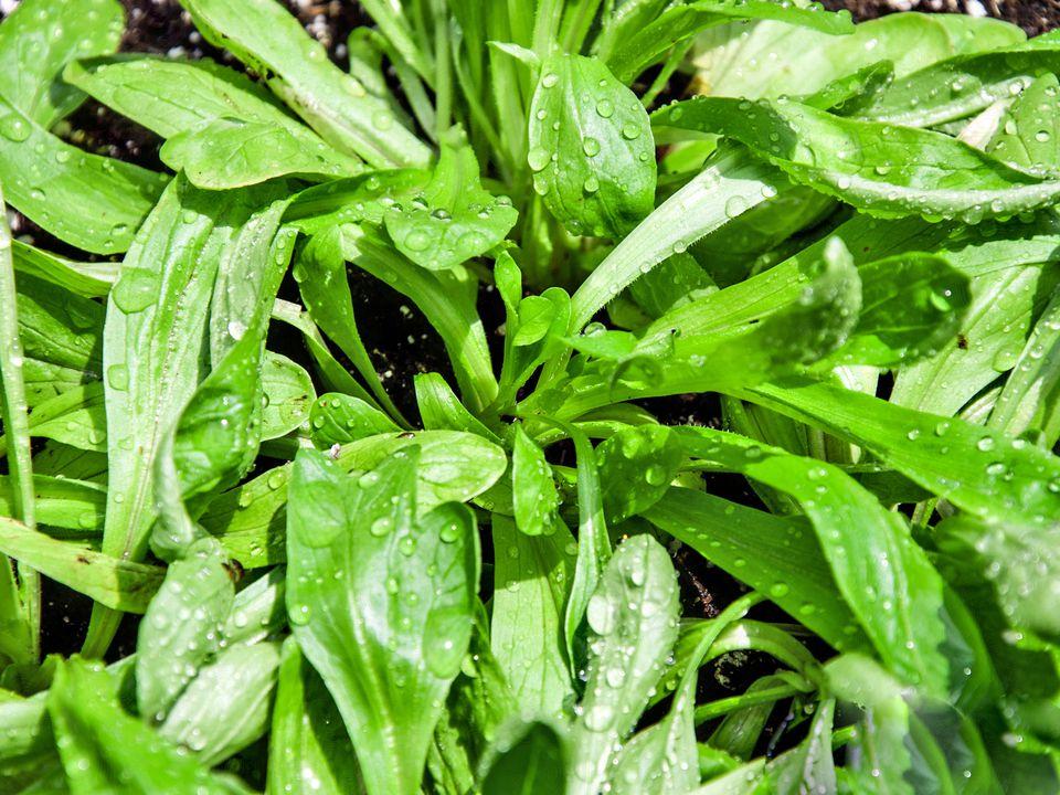 Mache (Corn Salad)