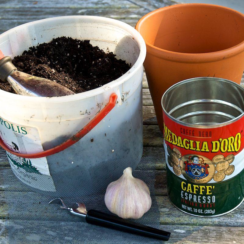 container gardening picture of growing garlic indoors