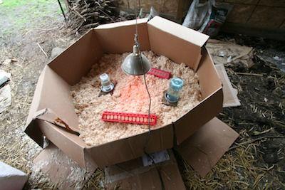Brooder set up for chicks.