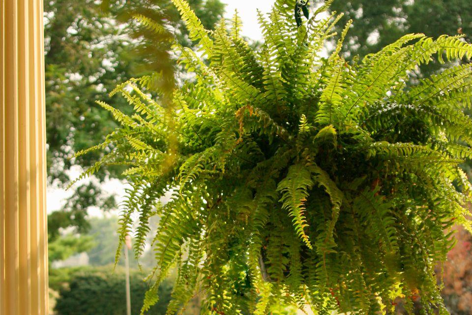 Hanging fern plant