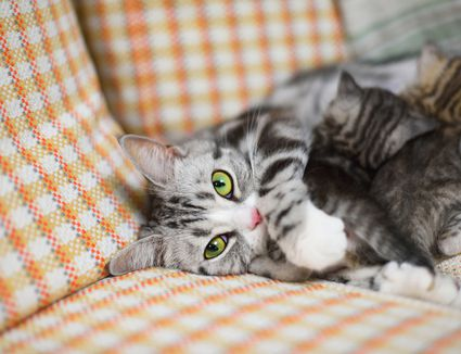 maine coon cat health problems