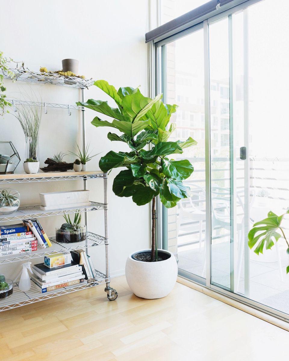 fiddle leaf fig tree indoors
