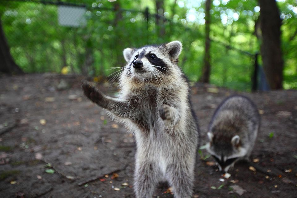 Raccoon begging for food