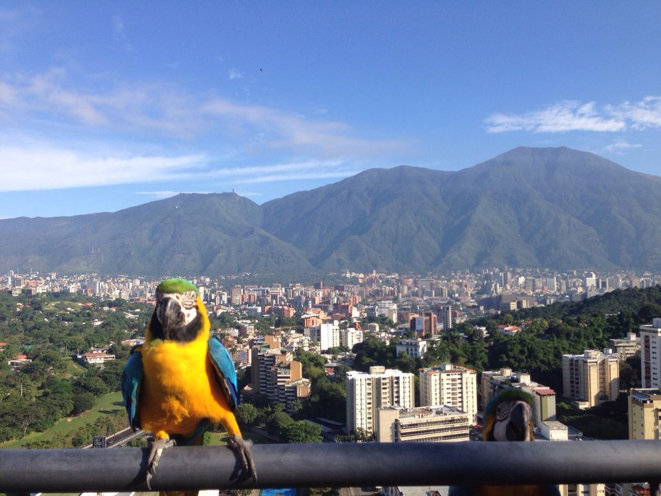 Yellow and blue macaw perched on railing against Caracas cityscape and mountains