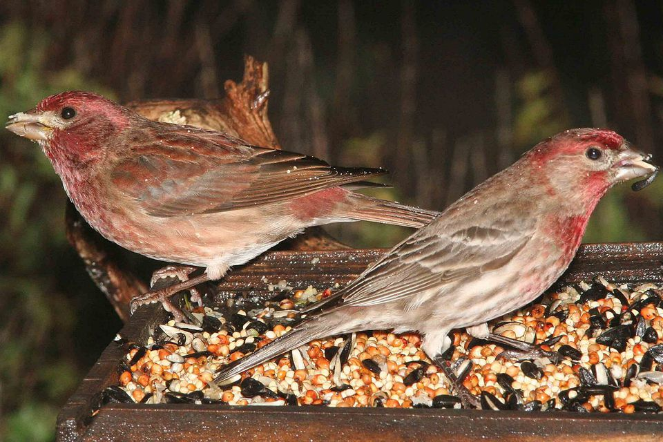 Purple Finch and House Finch
