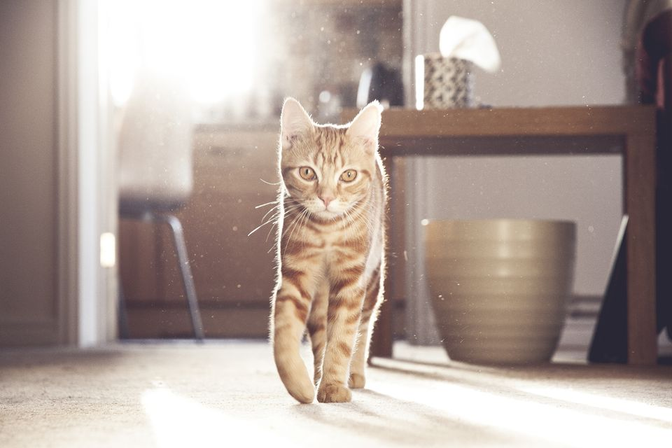 Ginger domestic cat in sunshine