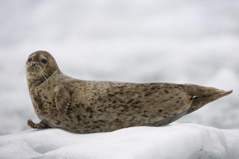 Harbor Seal Pup on Iceberg, Alaska