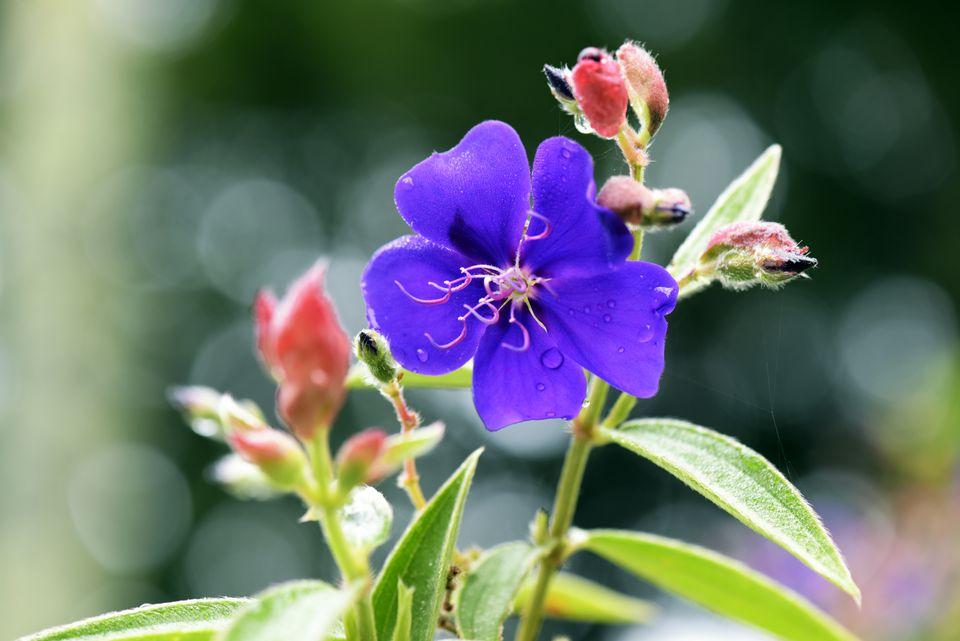 Tibouchina Glory tree in bloom