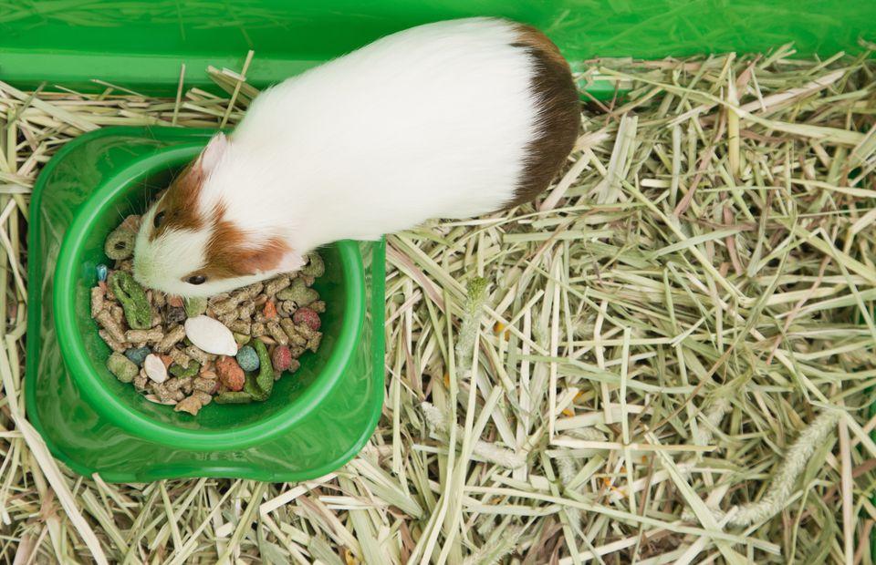 USA, Illinois, Metamora, Guinea Pig eating from bowl