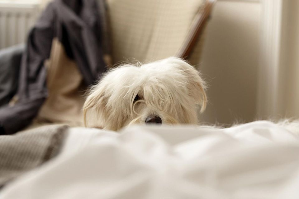 White dog hiding behind bed (differential focus)