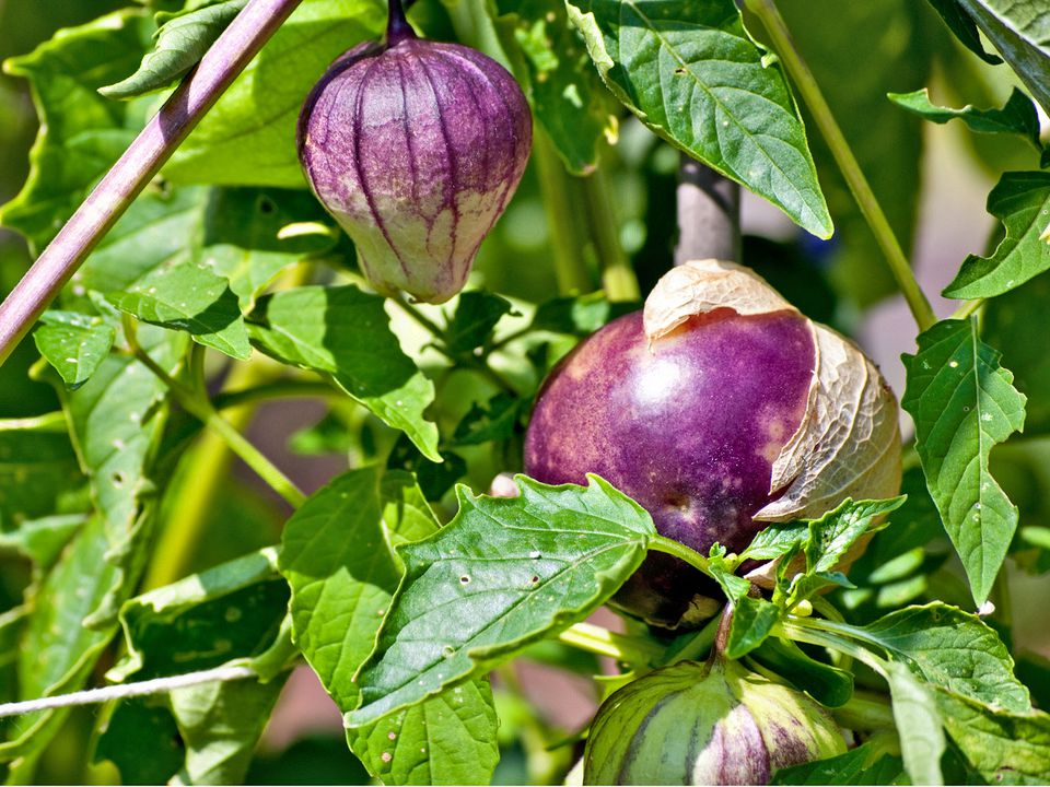 Growing Tomatillo Plants in the Home Vegetable Garden