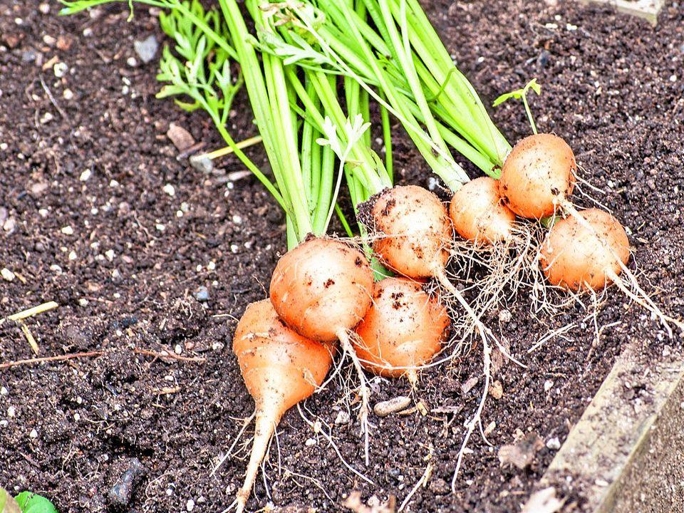 'Paris Market' Carrots