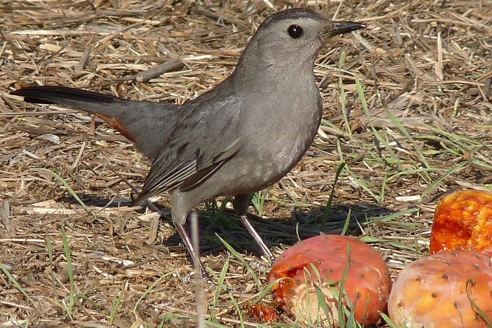Catbird Eating Fruit