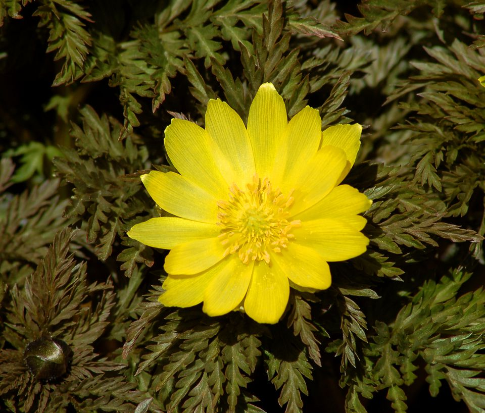 Adonis amurensis (image) is the first plant to flower in the springtime. It has feathery leaves.