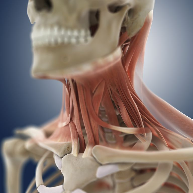 Neck muscles including scalenes.