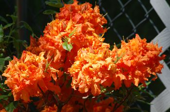 Stewartstonian Azalea Evergreen Choice For A Red Azalea