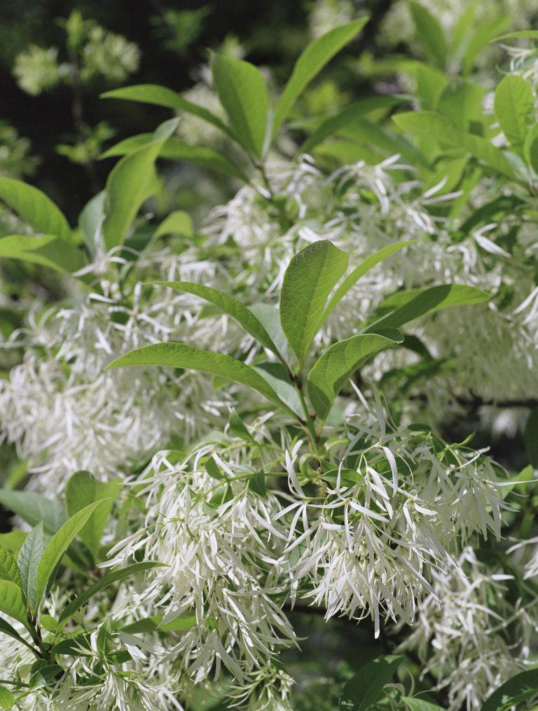 fringetree in bloom