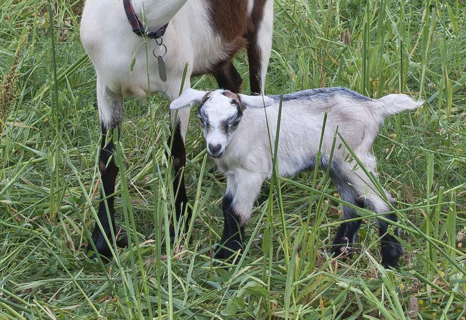 how to raise and care for baby goat kids