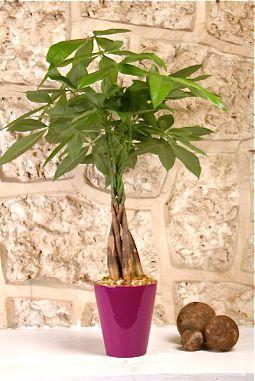 Plantas m s utilizadas para la buena fortuna - Planta de la buena suerte ...