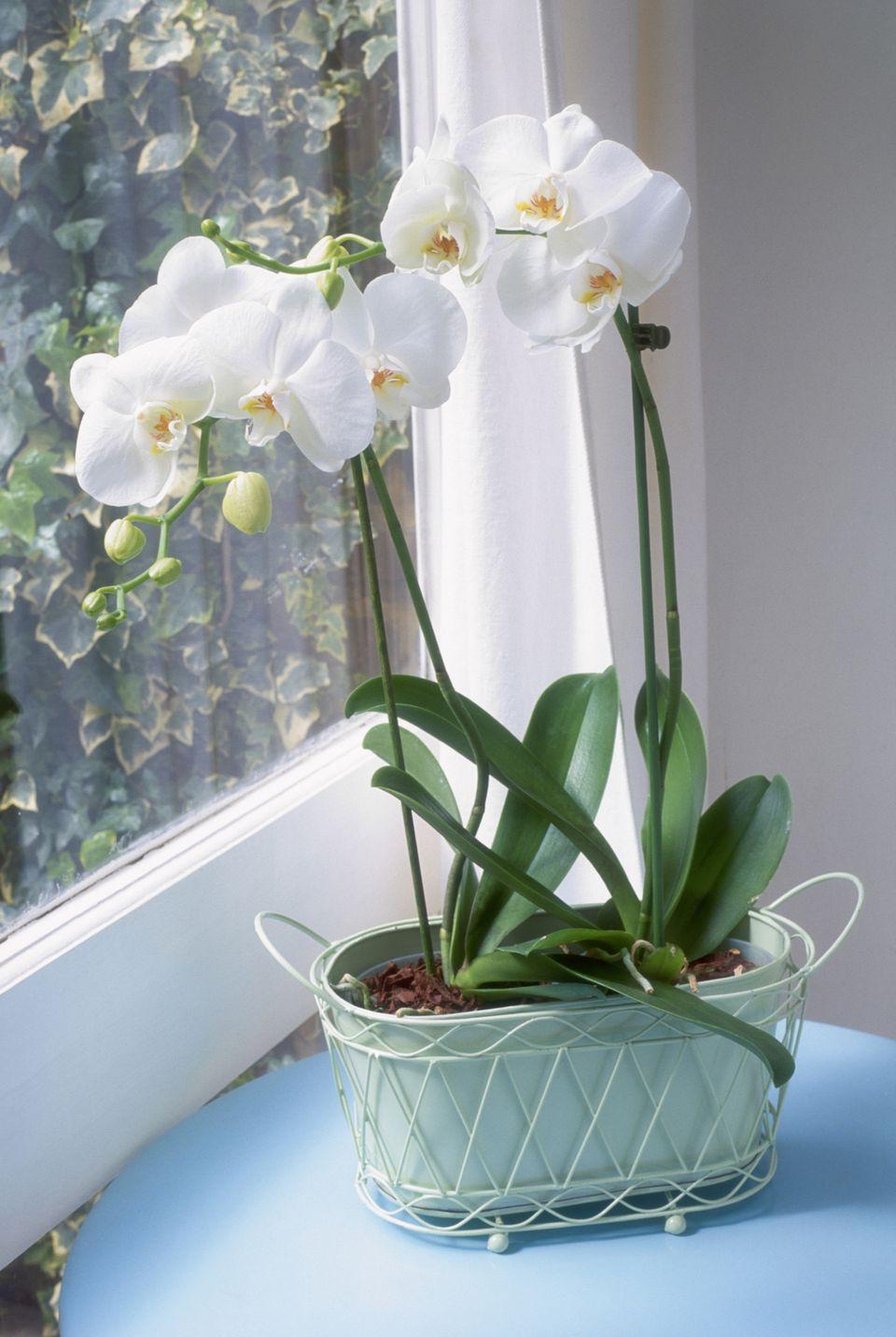 Orchid in Windowsill