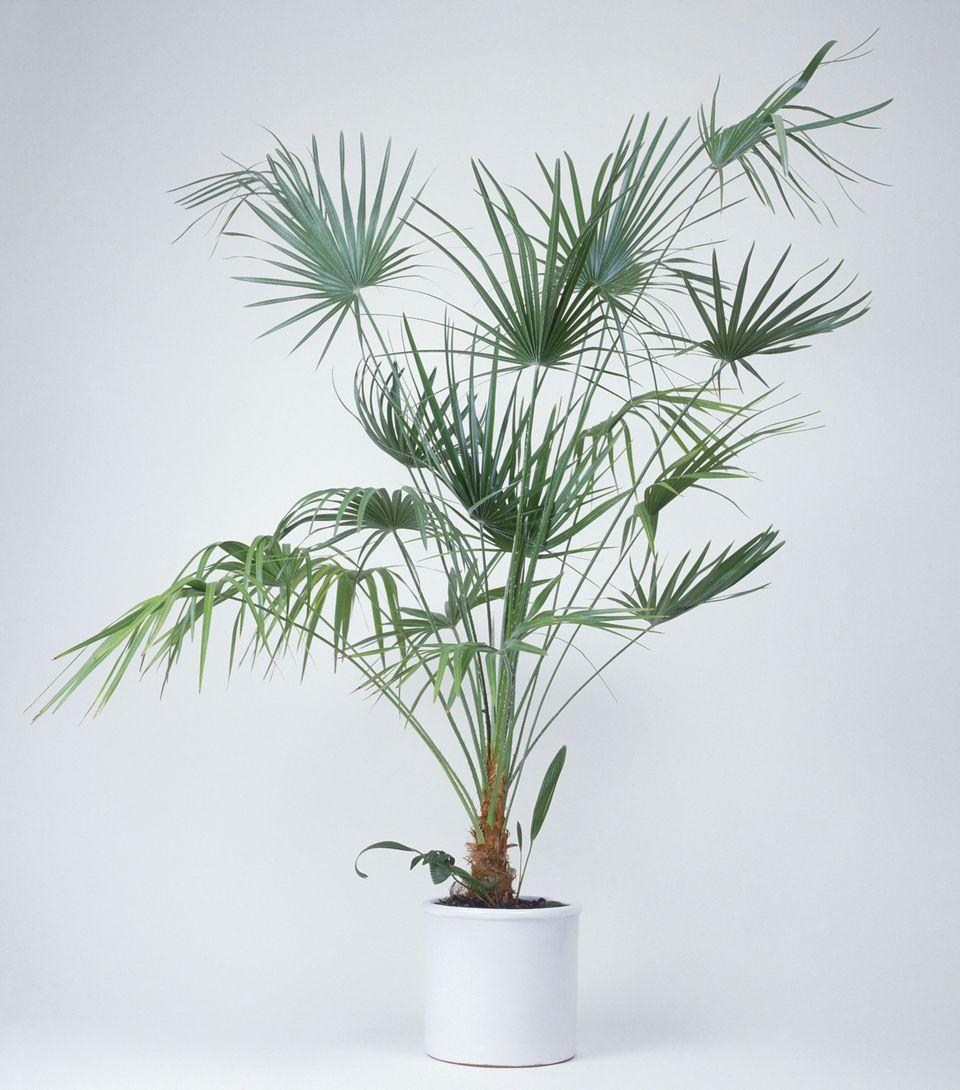 Lady palm- Rhapis Excelsa