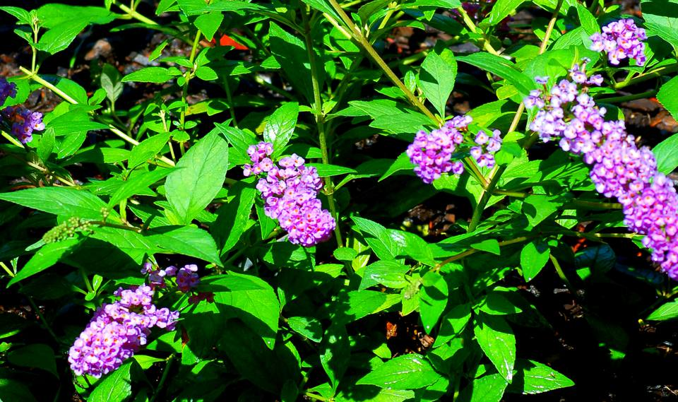 'Blue Chip' Buddleia (picture) is a non-invasive type. Draws butterflies, not your wrath.