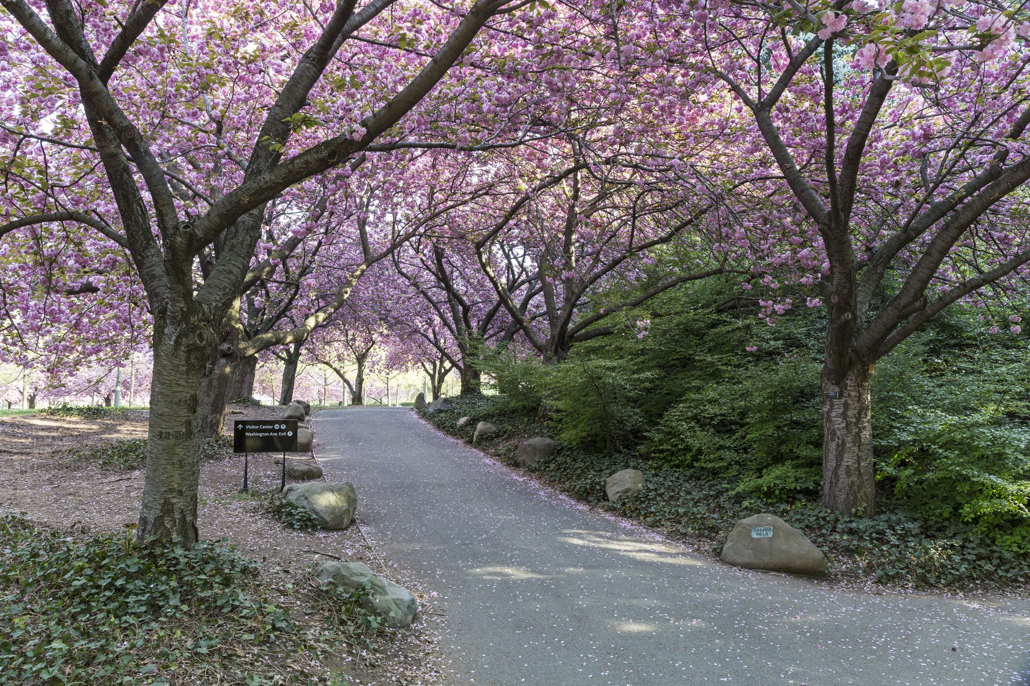 When Do The Brooklyn Cherry Trees Blossom