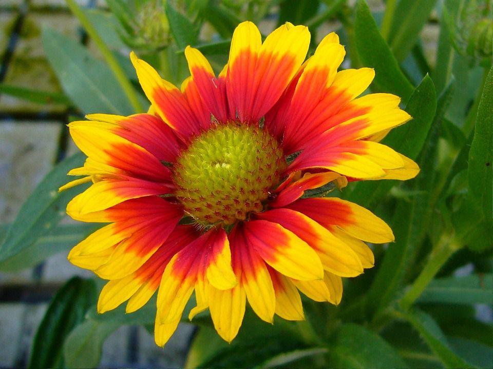 Growing blanket flowers gaillardia gaillardia flower mightylinksfo Images