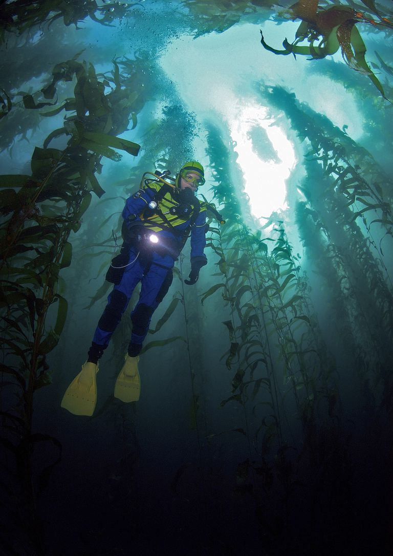 Scuba diver swims through a kelp forest.