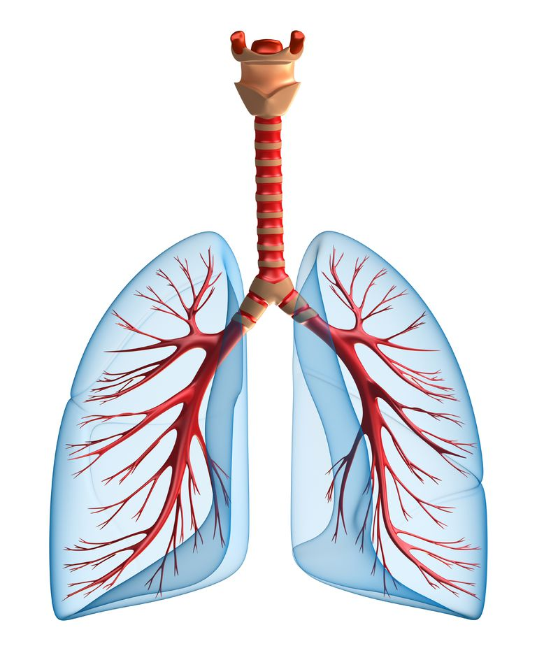 view of the lungs showing where an endobronchial ultrasound may be done