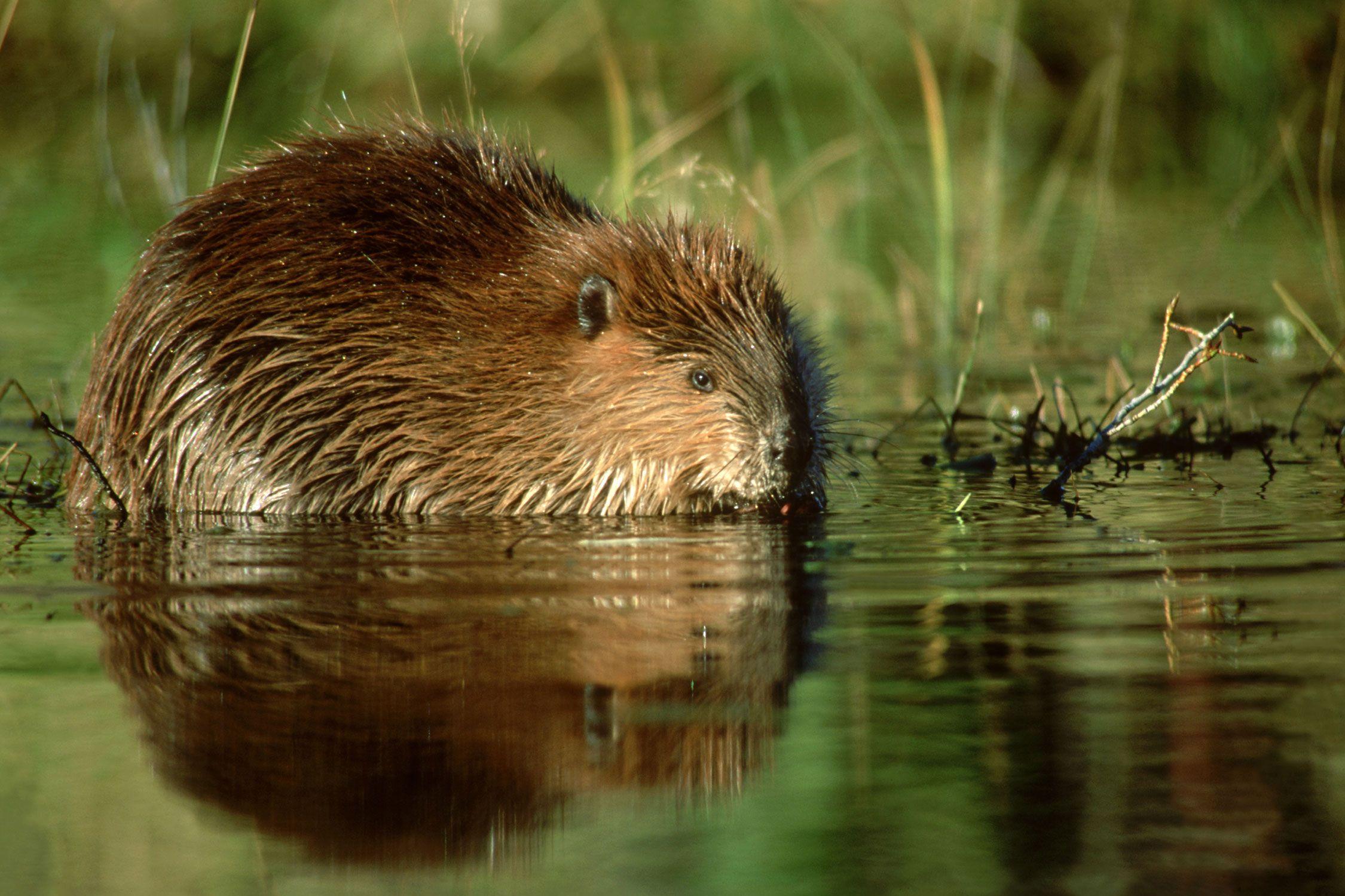 American beaver castor canadensis the animal encyclopedia for Castor habitat