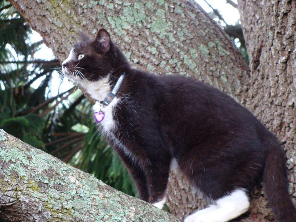 Photo of Freida, a Tuxedo Cat