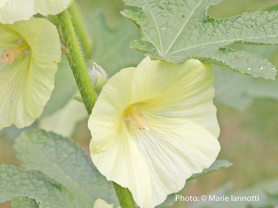 Top 7 Biennial Flowers For The Garden