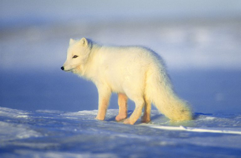 The Arctic fox is vulnerable to climate change through habitat loss and increased competition.