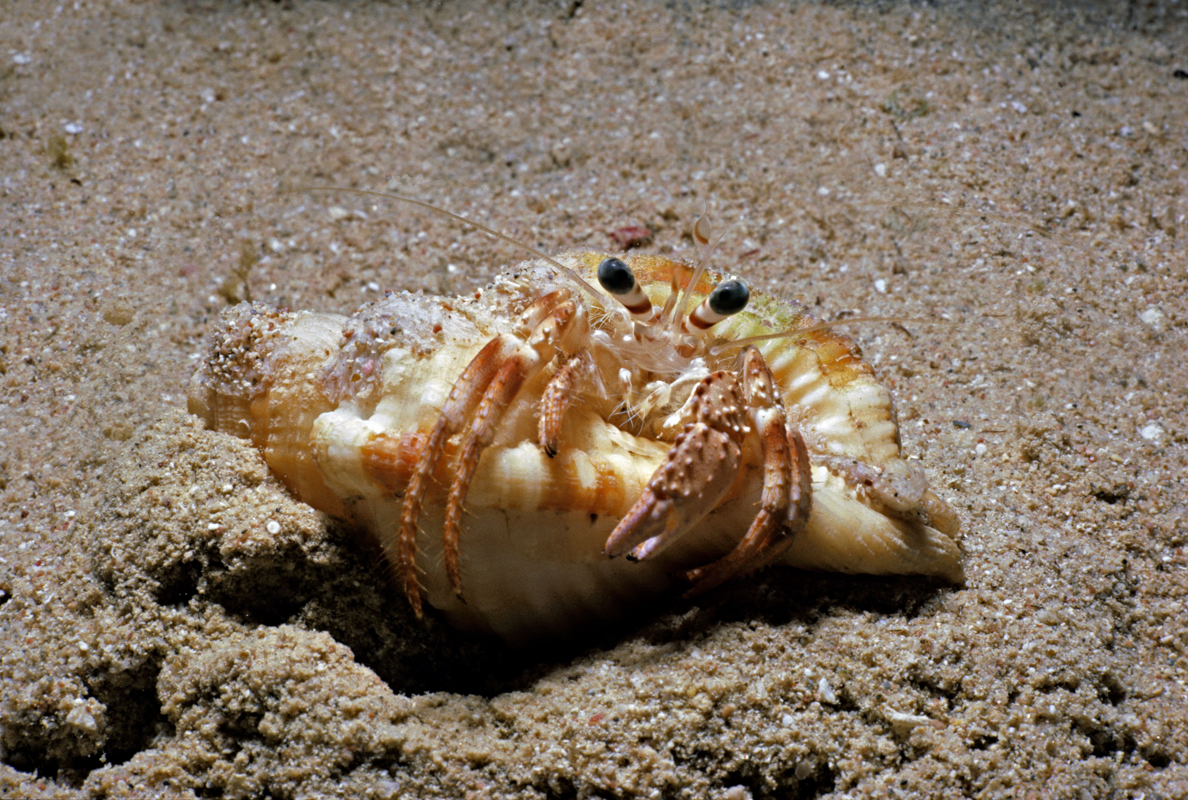 Hermit Crab Facts For Kids   Fun Facts About Hermit Crabs
