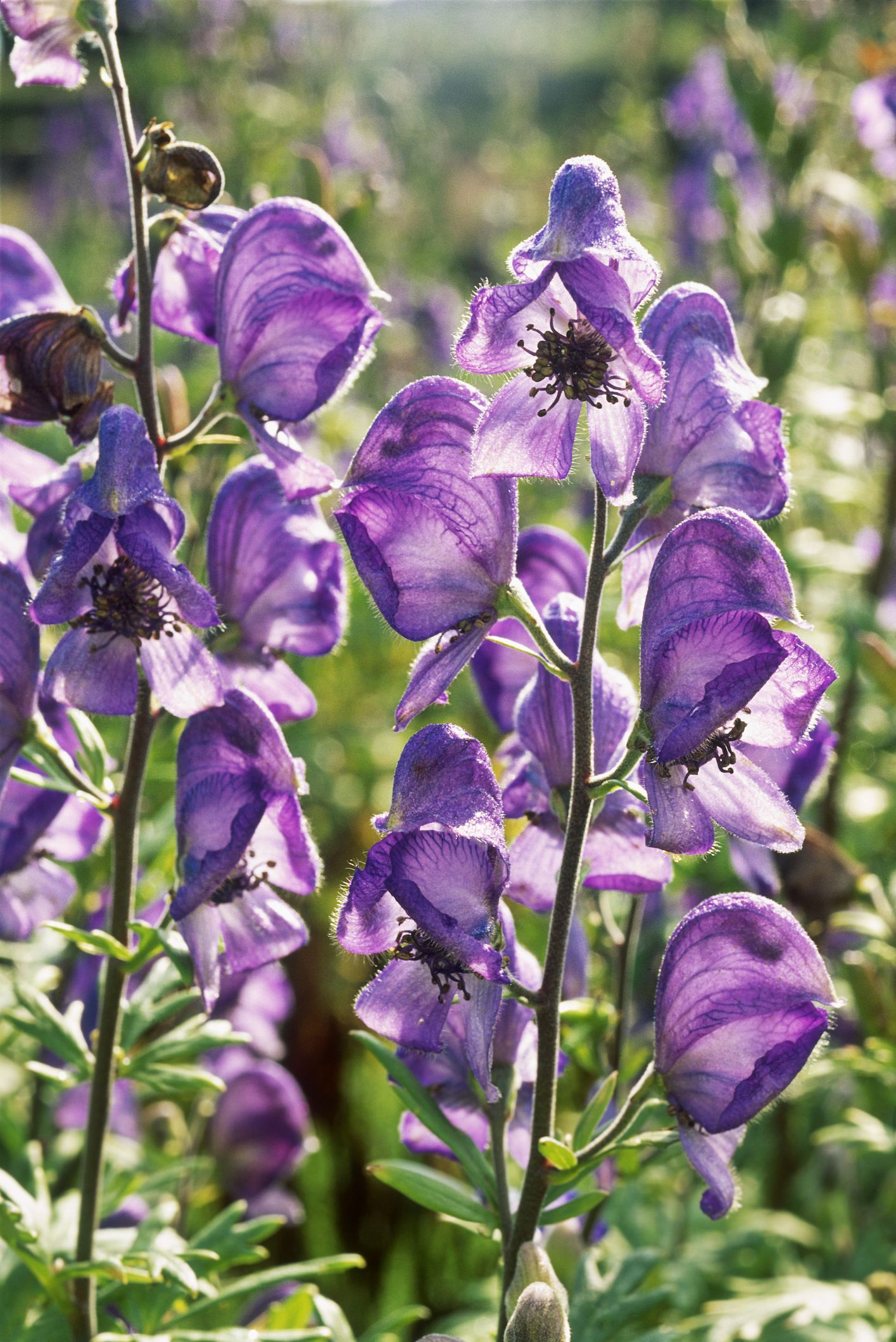 growing deadly monkshood perennial plants - Common Purple Garden Flowers