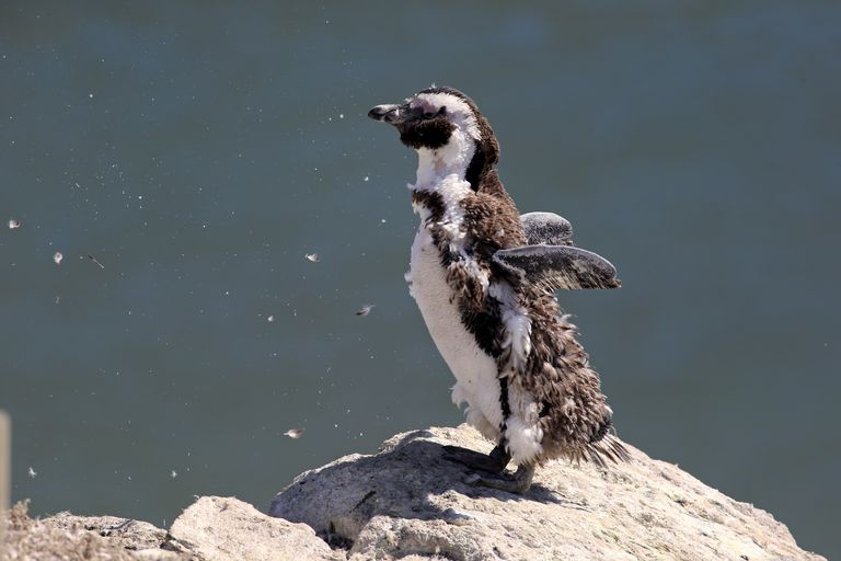 Molting penguin.
