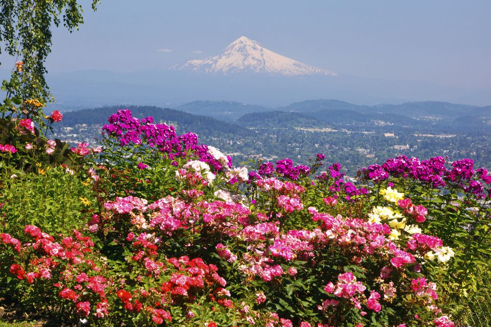 Rose garden with a mountain in the background.