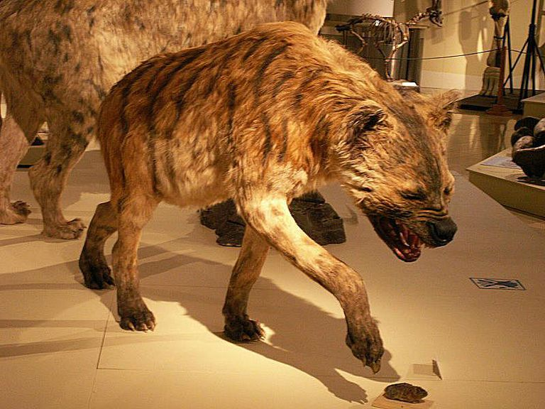 giant hyena pachycrocuta