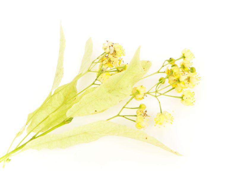 Planta medicinal tila